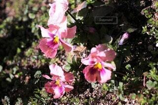 アプリコット  ピンクのパンジーの写真・画像素材[3975285]