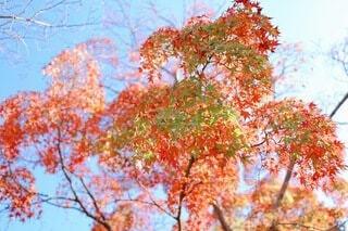 秋に染まり行く青紅葉の写真・画像素材[3986524]