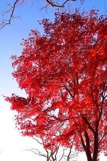 赤紅葉の樹の写真・画像素材[3991495]