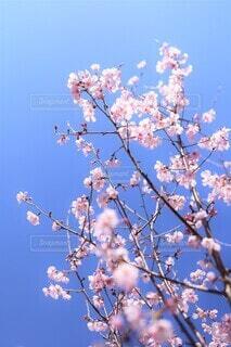 春咲きの十月桜の写真・画像素材[3997120]