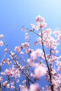春咲きの十月桜の写真・画像素材[3997128]