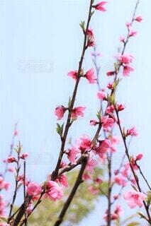 春空へと咲く桃花の写真・画像素材[4002259]