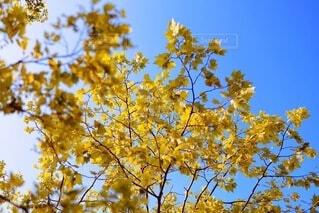 秋晴れの日の黄葉(楓)の写真・画像素材[4004872]