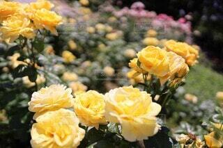 レモン イエローの薔薇の園(ミケランジェロ)の写真・画像素材[4006568]