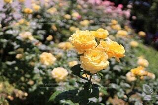レモン イエローの薔薇の園(ミケランジェロ)の写真・画像素材[4006569]