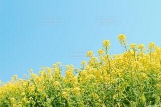 春空と菜の花の写真・画像素材[4018112]