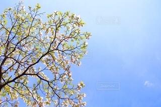 春空と花水木の写真・画像素材[4039919]