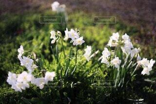 スポットライトを浴びる白水仙(ペーパー・ホワイト)の写真・画像素材[4071128]