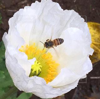 ポピーへ導かれし蜂の写真・画像素材[2773698]