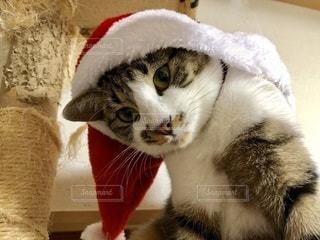 ネコ クリスマス画像の写真・画像素材[2635195]