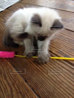 我が家の子猫の写真・画像素材[2639331]