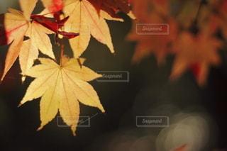 紅葉の写真・画像素材[2665866]