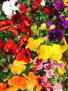 カラフルなお花の写真・画像素材[2654765]