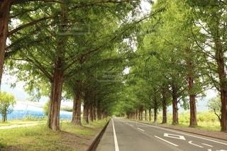新緑のメタセコイア並木の写真・画像素材[2645146]