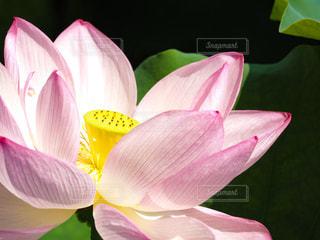 ハスの花が開く朝の写真・画像素材[2674760]