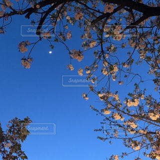 夜桜の写真・画像素材[2652209]