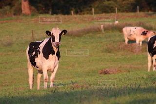 夕方の牛の写真・画像素材[2658113]