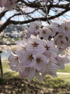 想い出の地の桜の写真・画像素材[2696028]