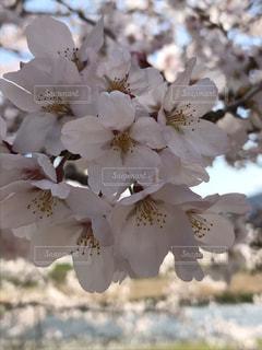 旧駅舎近くの桜の写真・画像素材[2696109]