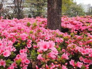 お花畑のようなツツジの花の写真・画像素材[2660224]