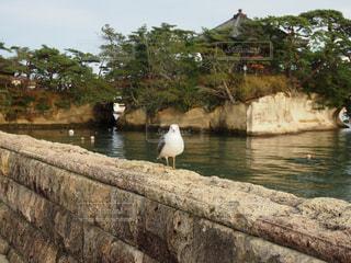 松島のうみねこの写真・画像素材[2664515]