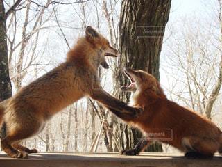 2匹のキツネの喧嘩の写真・画像素材[2688165]