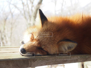 キツネの寝顔🦊の写真・画像素材[2688166]