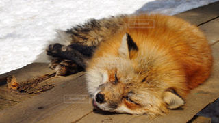 木製のテーブルの上で寝ているキツネの写真・画像素材[2688167]