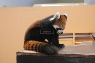 レッサーパンダの写真・画像素材[2660876]