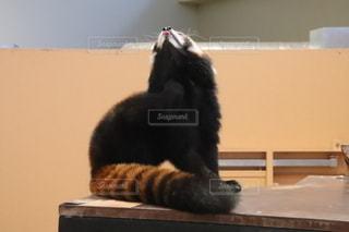 レッサーパンダの写真・画像素材[2660883]