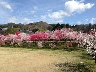 春の風景 花桃の写真・画像素材[2661808]