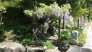 名水と藤の花の写真・画像素材[2792571]
