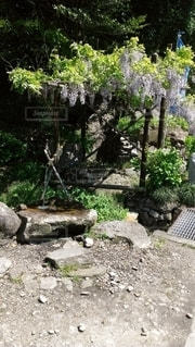 藤の花と名水の春の写真・画像素材[2793490]