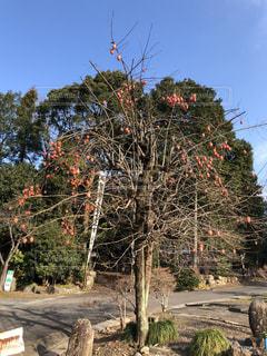 柿の木の写真・画像素材[2843514]