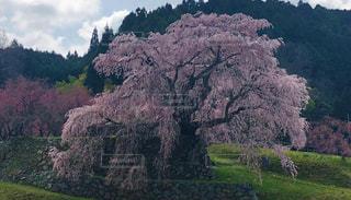 樹齢300年の桜の写真・画像素材[2844998]