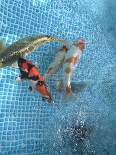 ビニールプールで飼う錦鯉の写真・画像素材[2667836]