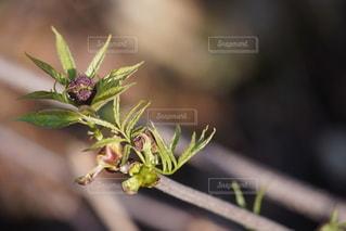 ニワトコの芽吹きの写真・画像素材[2677120]