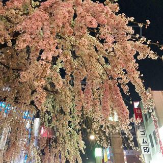 都会の真ん中に咲く枝垂れ桜の写真・画像素材[2686567]