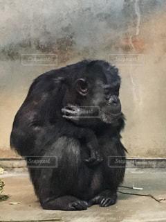 猿の写真・画像素材[2667501]