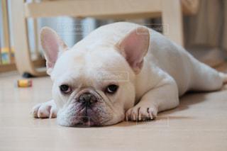 テーブルの上に横たわる茶色と白い犬の写真・画像素材[2494112]