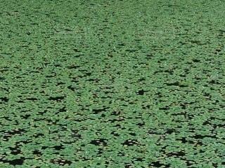 小沼の水草の写真・画像素材[4692111]