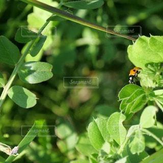 初夏と天道虫の写真・画像素材[3150094]