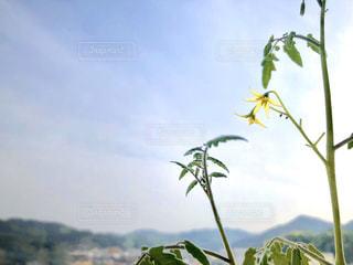 プチトマトを育てるの写真・画像素材[3293856]