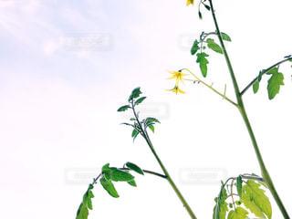 成長するプチトマトの写真・画像素材[3293853]