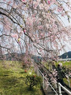 しだれ桜の写真・画像素材[2678918]