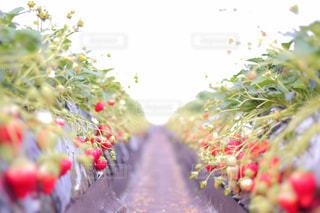 いちご畑の写真・画像素材[2680837]
