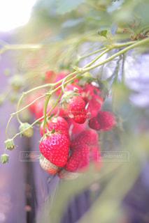 実った苺の写真・画像素材[2680839]