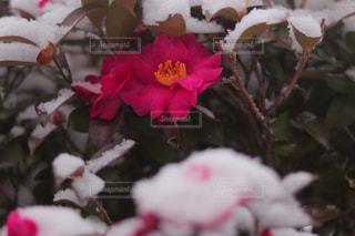 雪を被った花の写真・画像素材[2680842]
