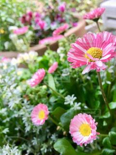 ピンクのイングリッシュデイジーの写真・画像素材[2873137]
