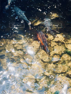 池のコイの写真・画像素材[3134232]